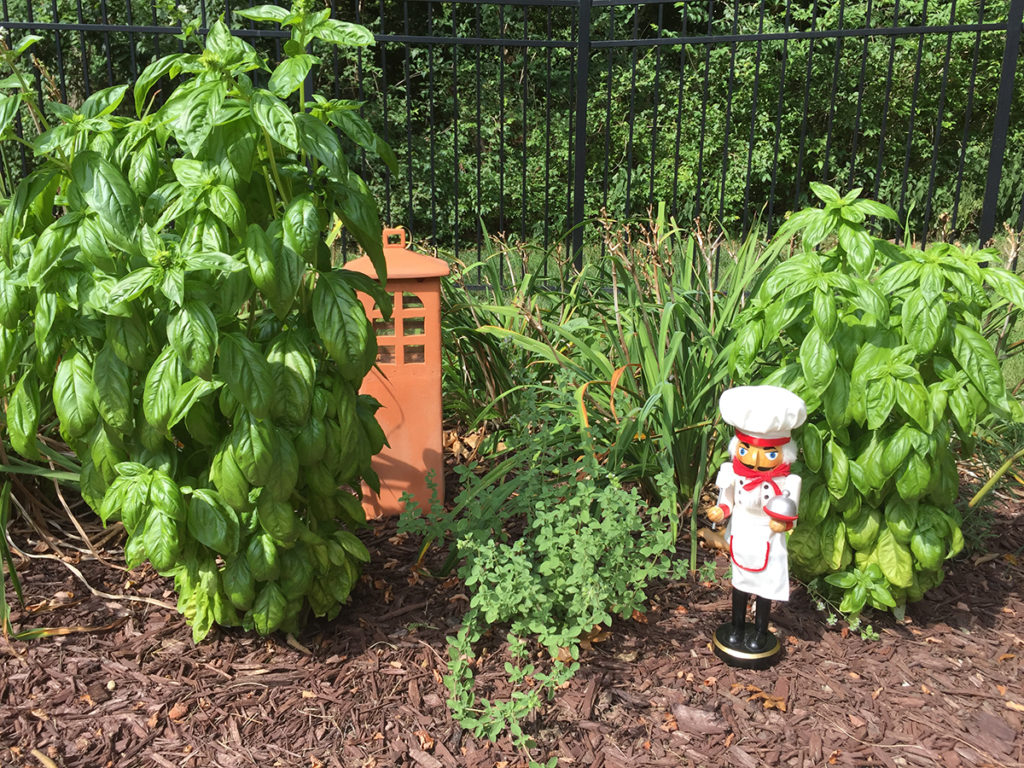 Two tall basil plants, one oregano plant, and terra cotta Asian garden lantern and a nutcracker who looks like a chef.