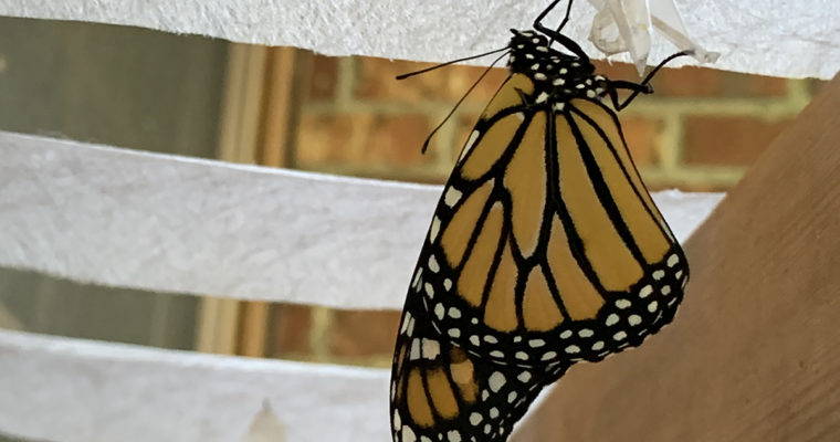 Mincoff Monarch Mania
