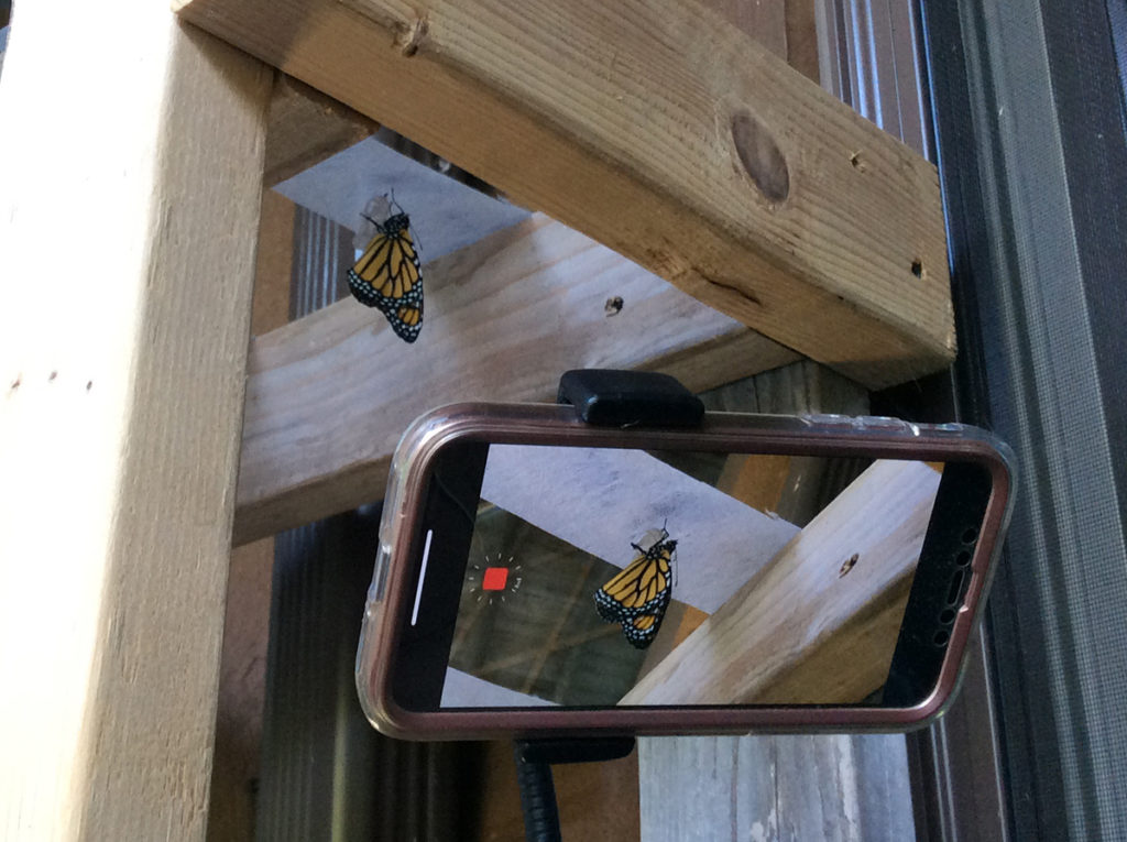 Cell phone with view of screen taking video of monarch butterfly emerging from chrysalis