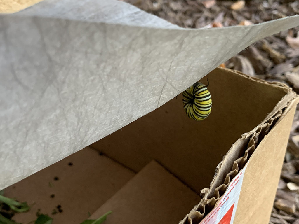 Monarch caterpillar attached to underside of fabric inside a cardboard box.