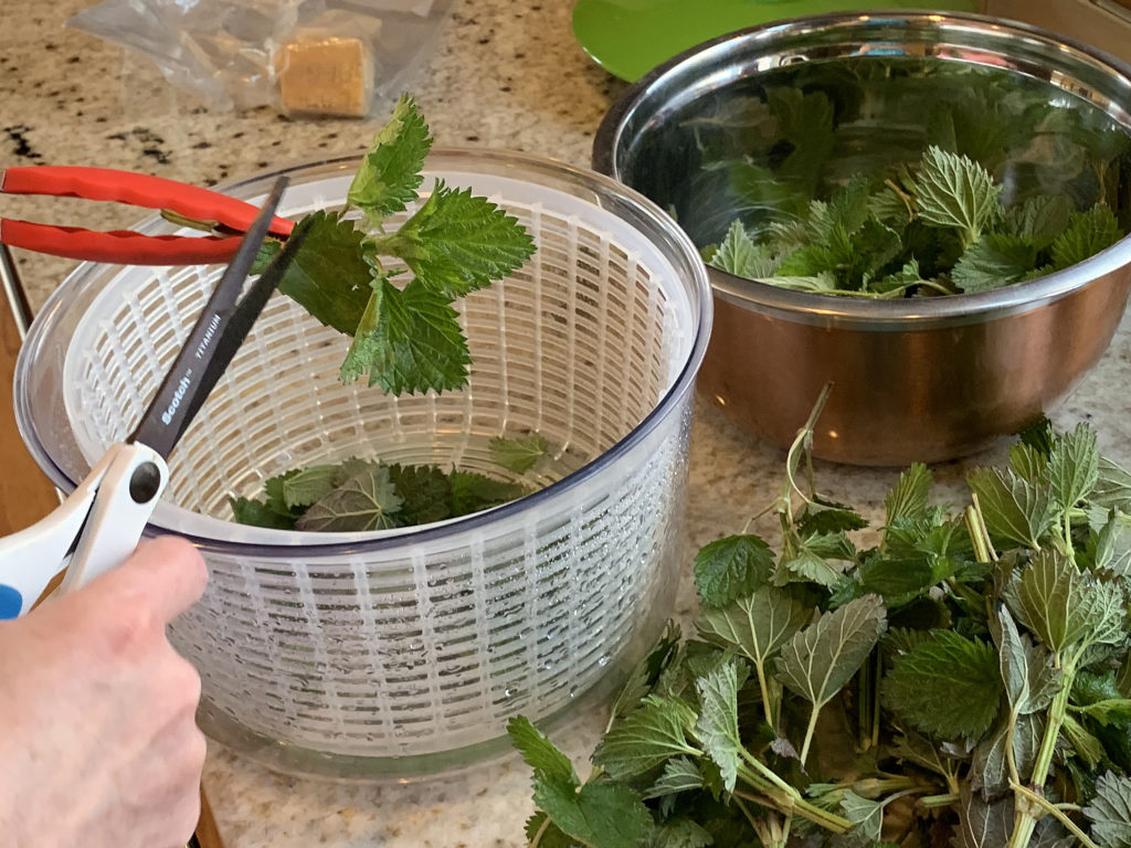 red tongs holding leaves while scissors are snipping leaves of stinging into a white basket of a salad spinner. Pile of leaves in front of bowl on granite counter.